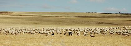 Pastoreo en Castilla-La Mancha – © Ruud Zwart